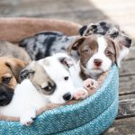 Which Royal Canin food to choose for two month old puppies?